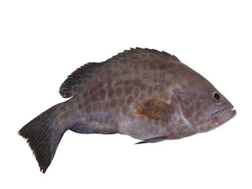 Is it safe to eat Brown Grouper during pregnancy,breastfeeding or whil trying to conceive? Is it healthy for infant,toddler,or children to eat Brown Grouper health benefits and nutrition value