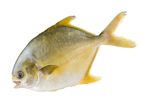 Safe to eat golden pomfret for Safe fish during pregnancy